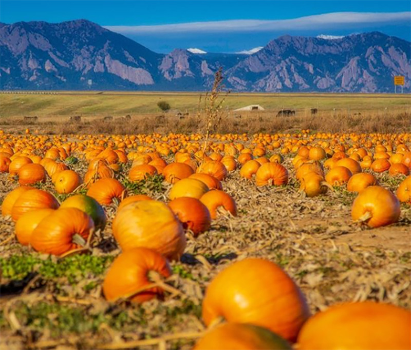 A pumpkin field sits below a distant moutain range