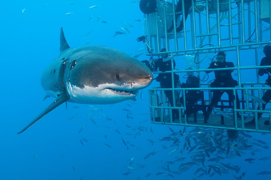 Shark outside of cage