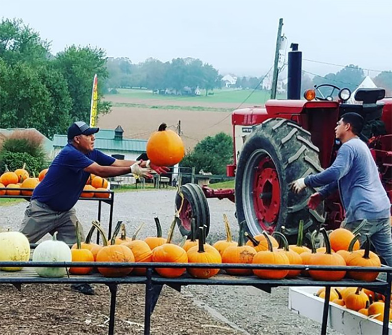 A worker passes a pumpkin to another worker