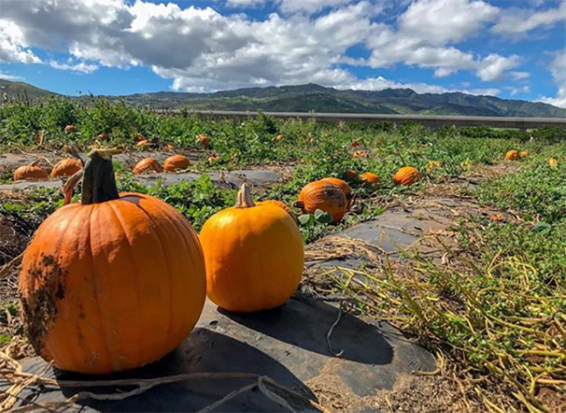 Pumpkins lay in a green expanse in Hawaii