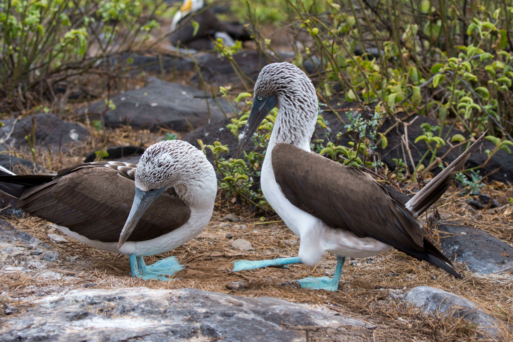 Two blue-footed booby birds walk along Hood Island.
