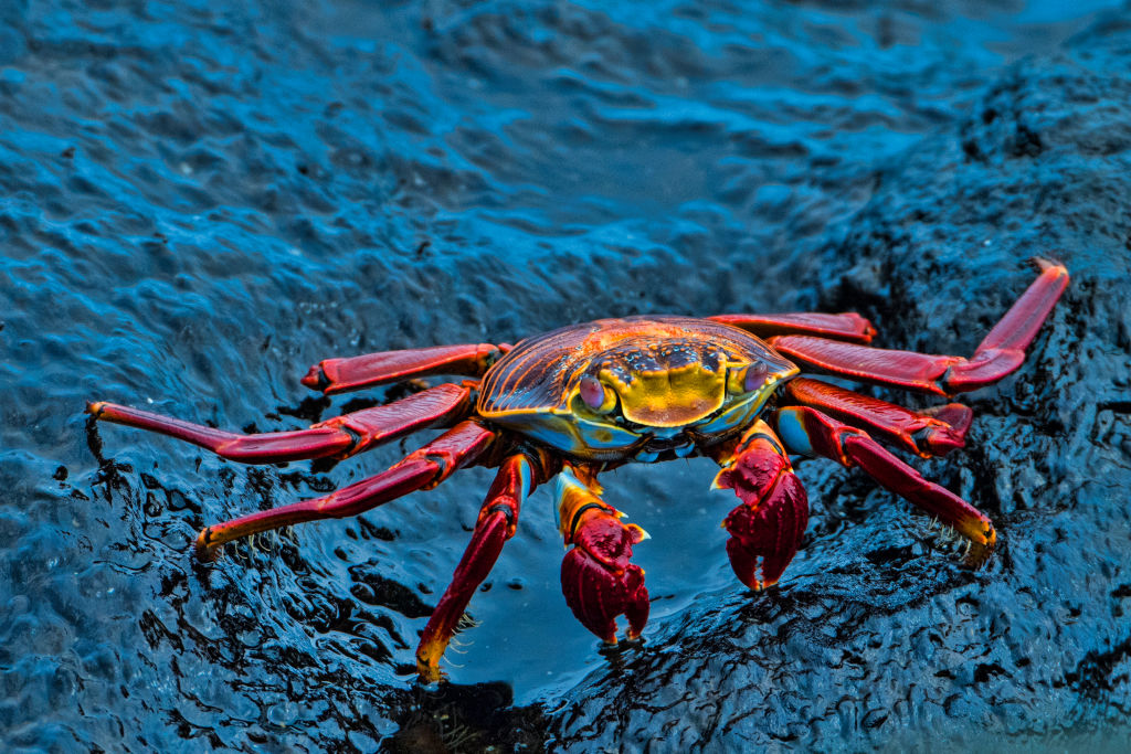 A Sally-lightfoot crab crawls on a rock covered with ocean water.