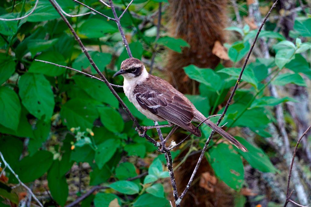 A cucuve bird perches on a branch in Santa Cruz island.