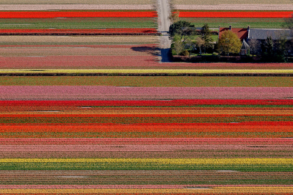 Enjoy The Colorful Tulip Fields In The Netherlands