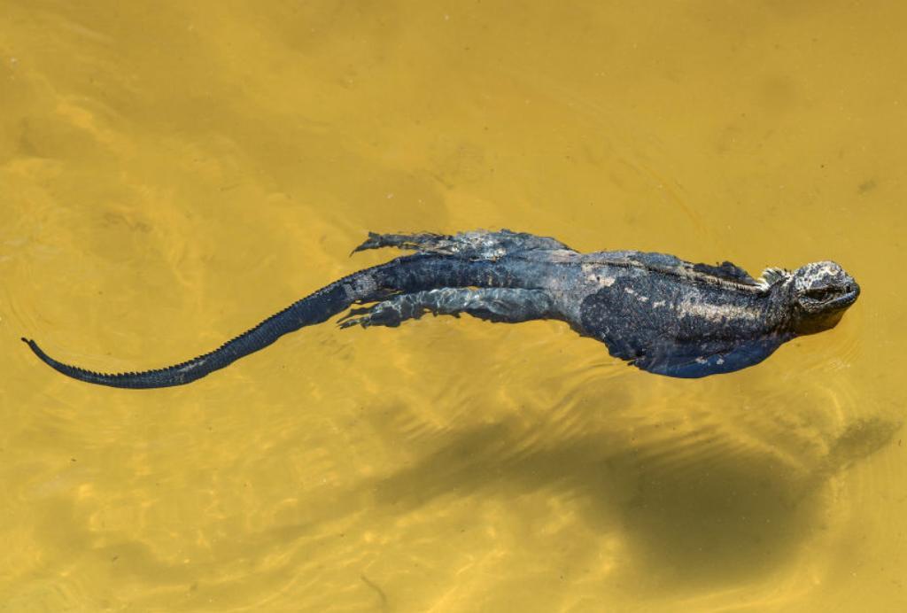 A marine iguana swims along the coast of Isabela Island