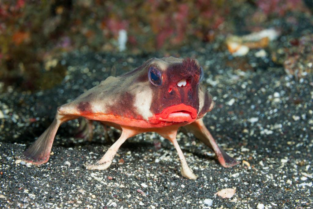 A red-lipped batfish is spotted on Fernandina Island.