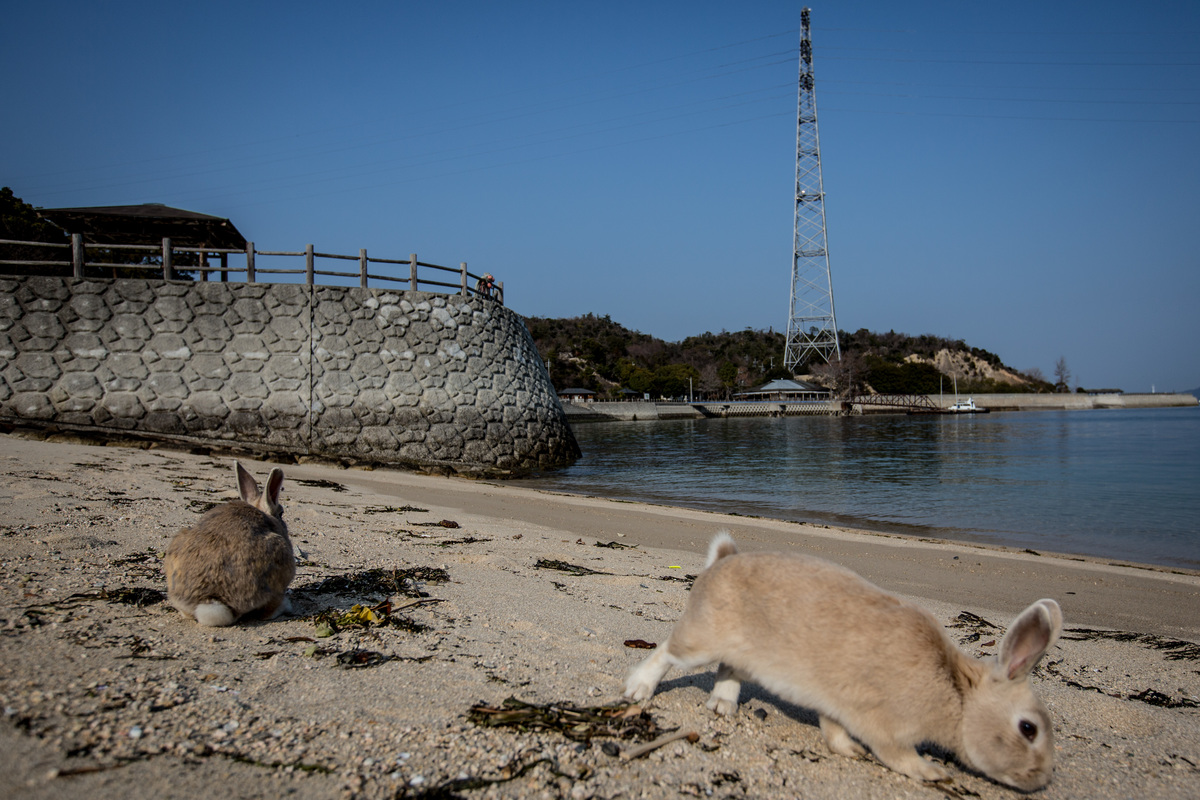 Rabbits forage for food on the beach at Okunoshima Island.