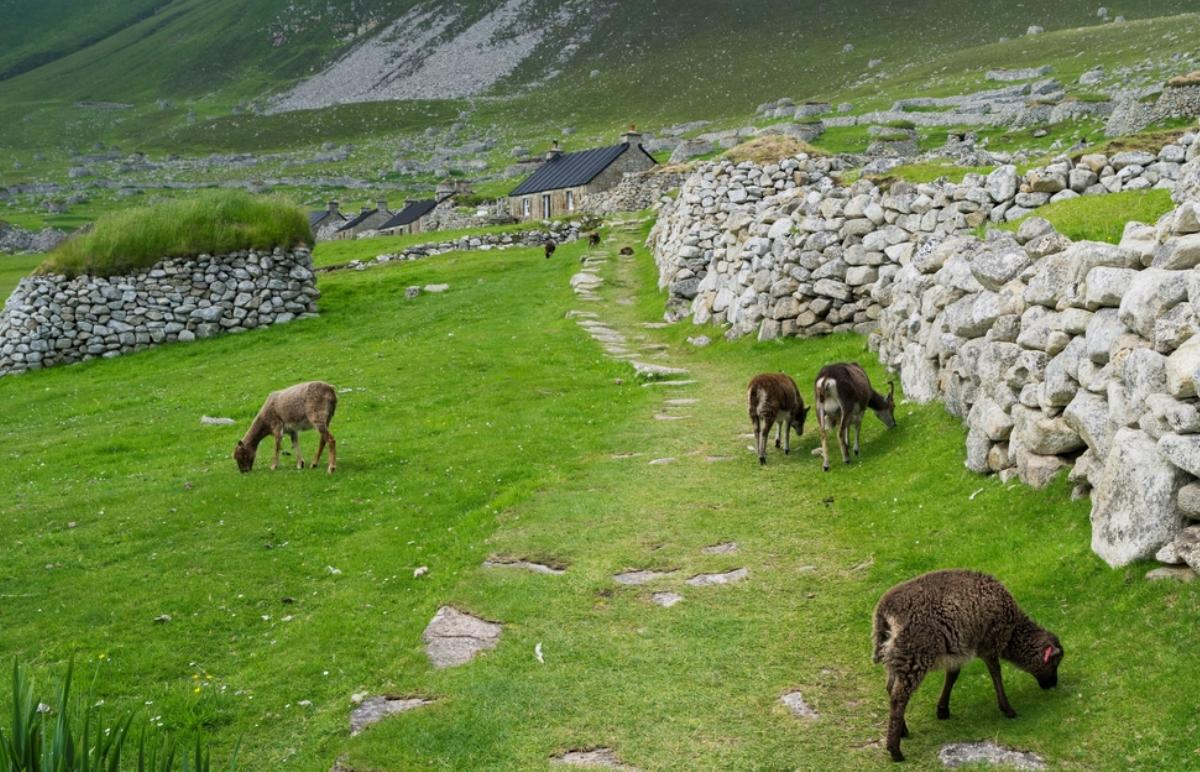 Soay sheep, now feral, graze by an abandoned home on the St. Kilda archipelago.