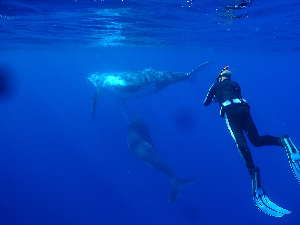 Swim With Humpback Whales In Niue