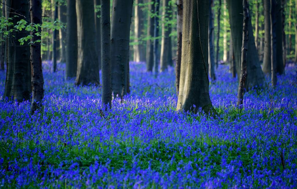 blue flowers in a forest in Hallerbos