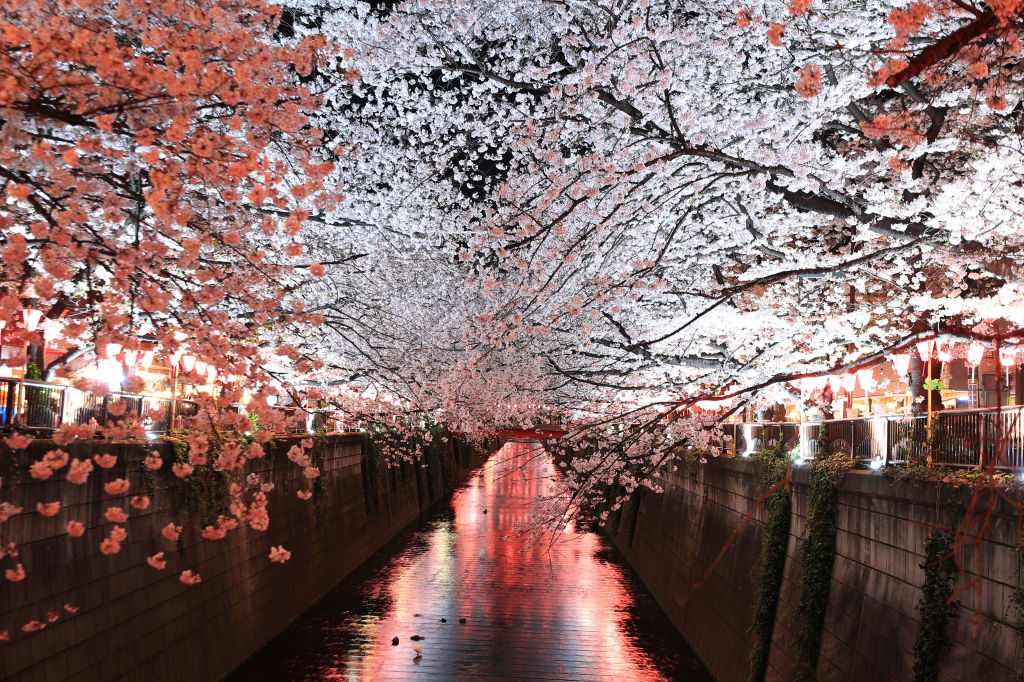 the cherry blossoms on the bank of a river in Japan