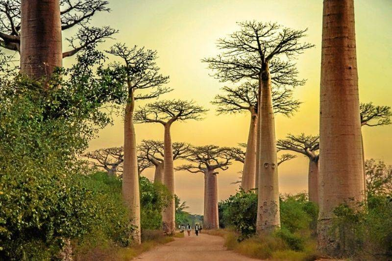 the avenue of baobobs