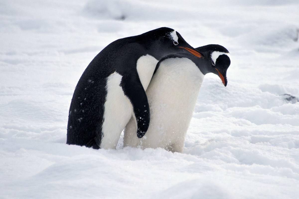 penguin mates