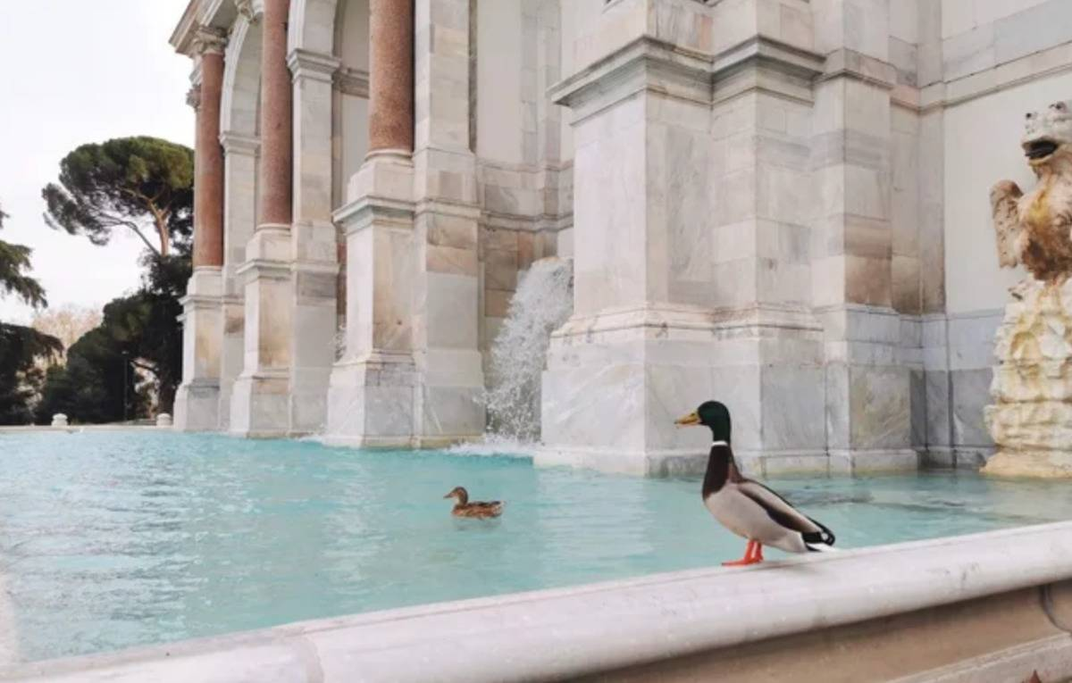 Ducks swimming in fountain in rome
