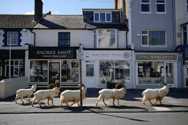 mountain goats roaming a city in Wales