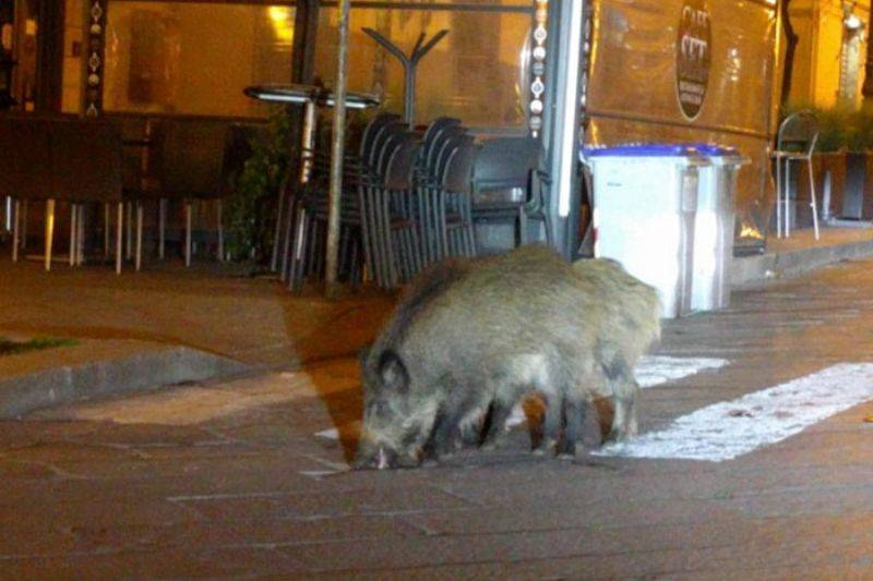 a couple of boars in the street