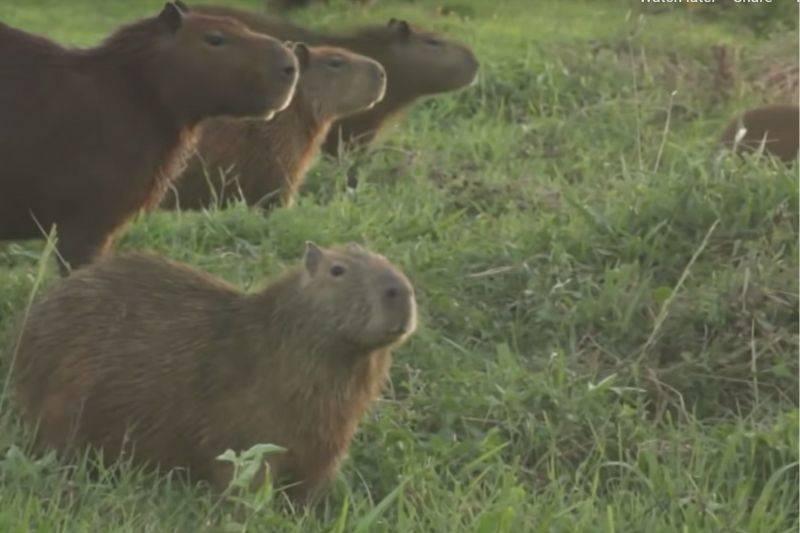 Capybaras on a golf course