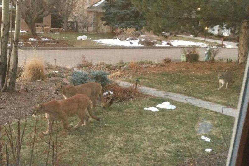 two mountain lions on someone's lawn