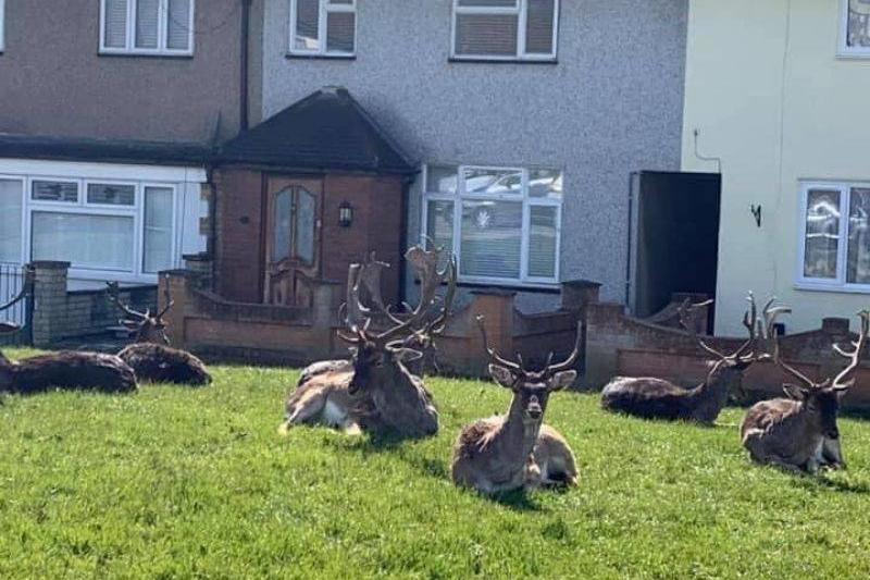 deer in someone's yard