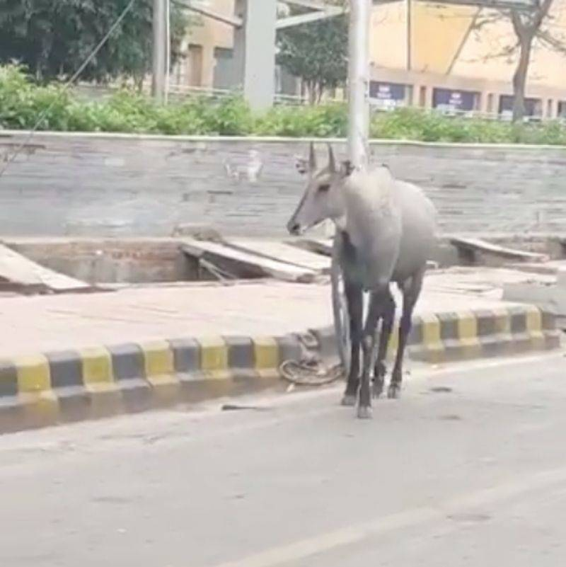 a Nilgai in the street