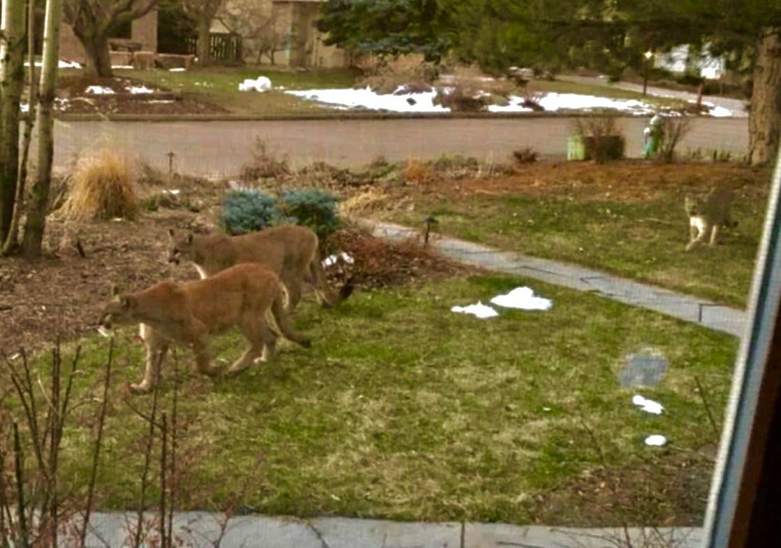mountain lions crossing residential lawn in suburb