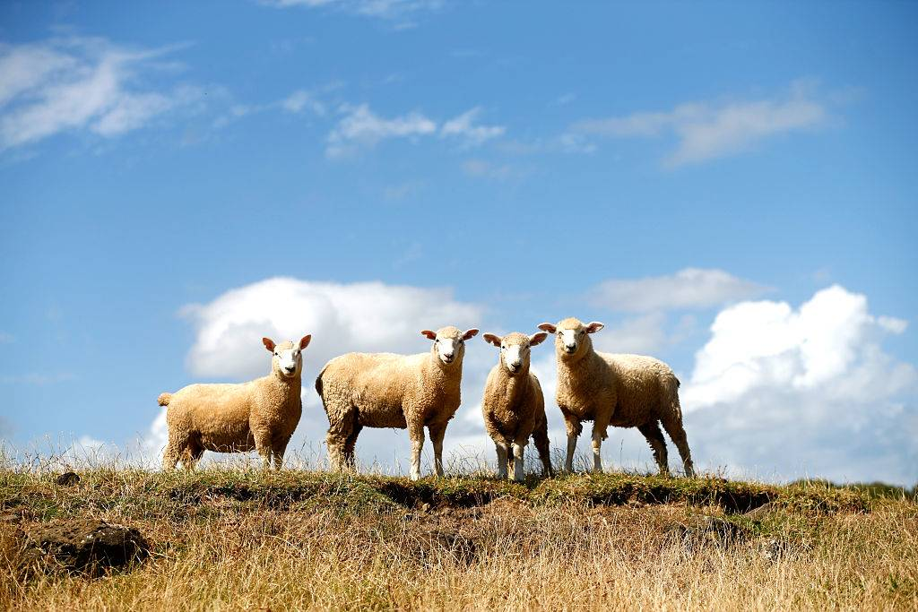 four sheep on the grass in auckland, new zealand