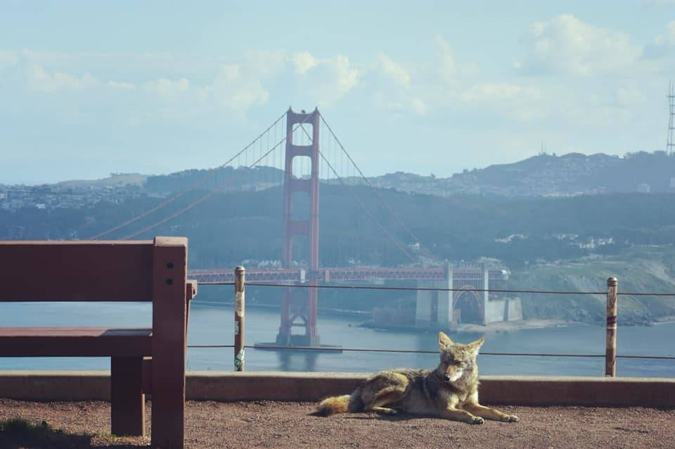 a coyote by the golden gate bridge