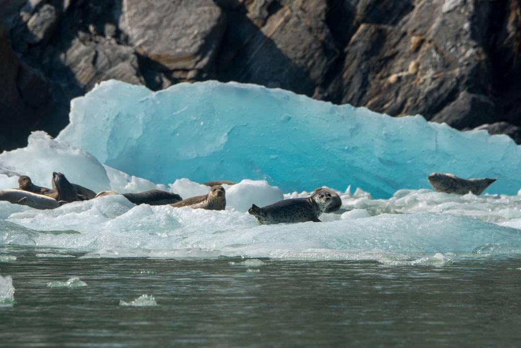 seals resting on icebergs in juneau, alaska