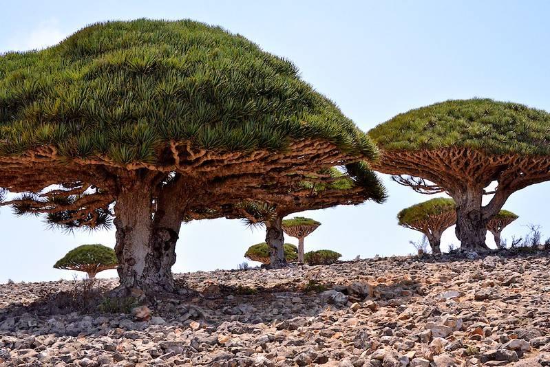 yemen dragon's blood trees