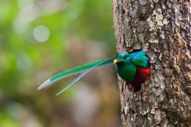 Resplendent Quetzal bird