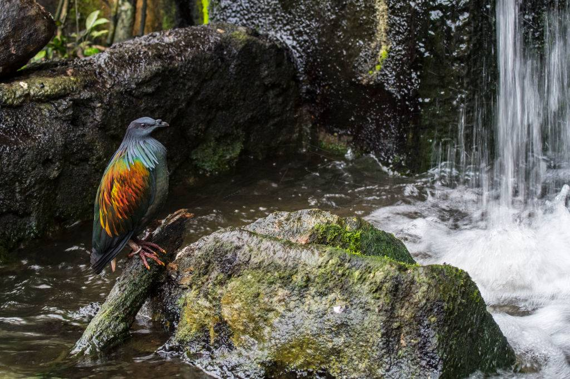 Nicobar pigeon rock