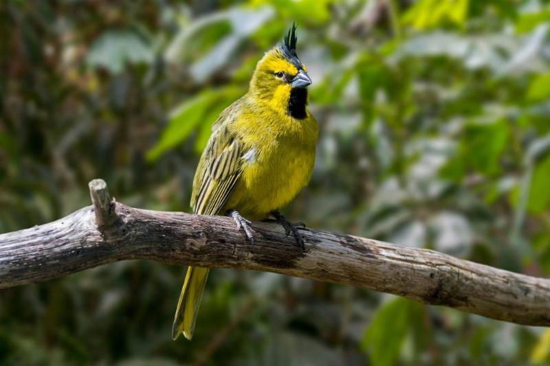 Yellow cardinal branch