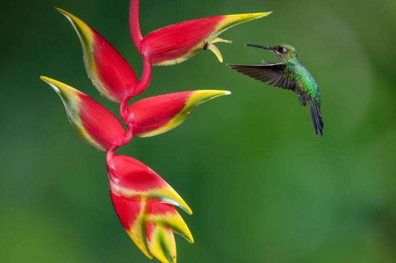 A female Green-crowned Brilliant Hummingbird