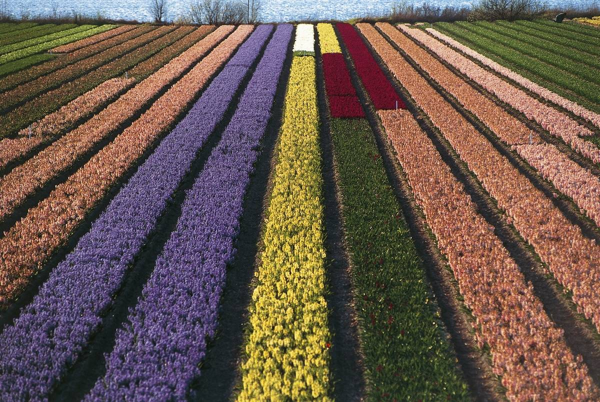 rows of tulips in netherlands