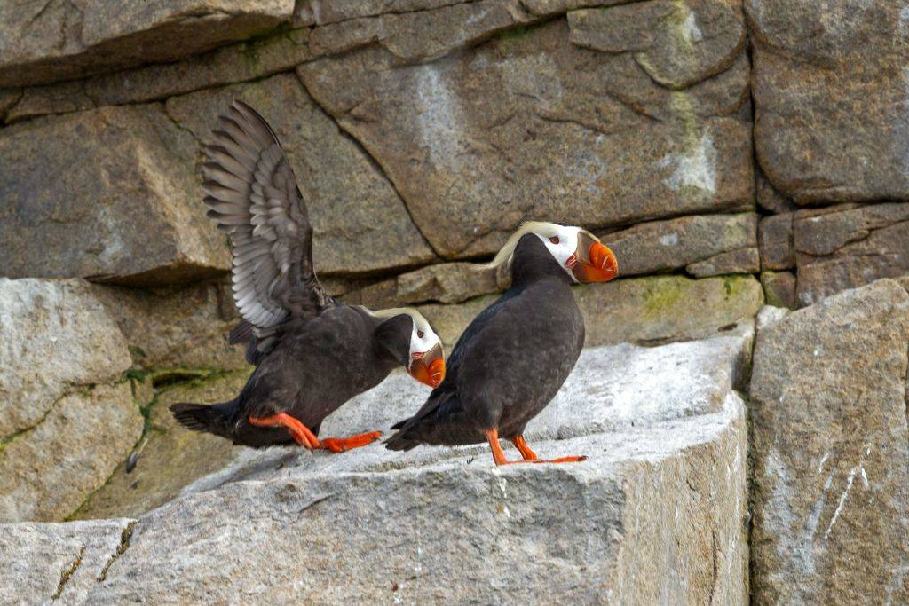 tufted Puffin rock