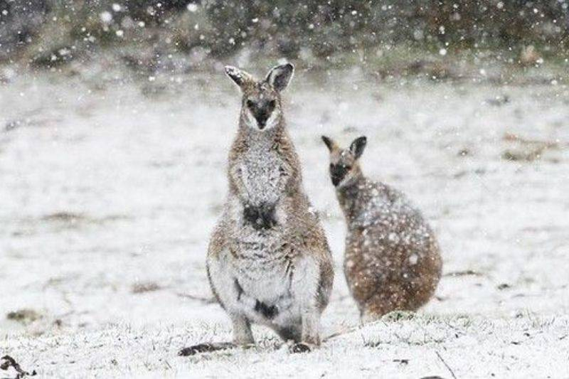 kangaroo winter australia