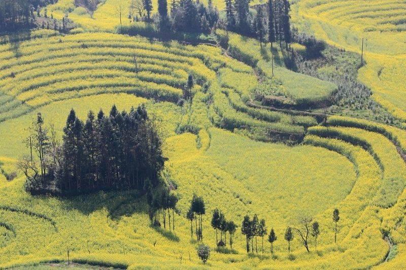 quijing canola fields yunnan province