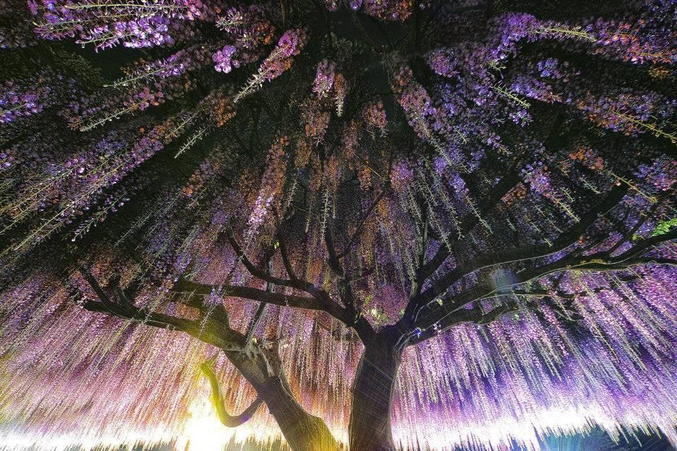 Wisteria Tree in Japan