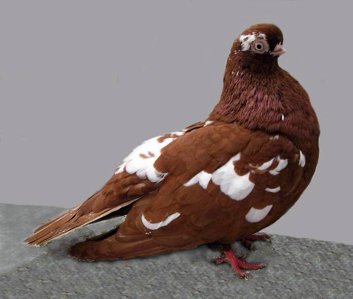 english short faced tumbler pigeon