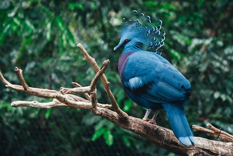 bright blue victoria crowned pigeon