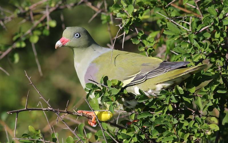african green pigeon in south africa