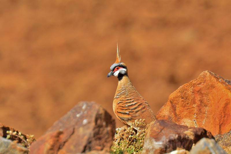 the spinifex pigeon