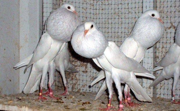 white brunner pouter pigeon