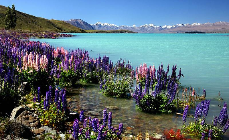lupins of lake tekapo NZ