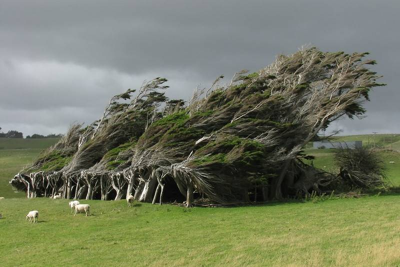 slope point bent trees NZ
