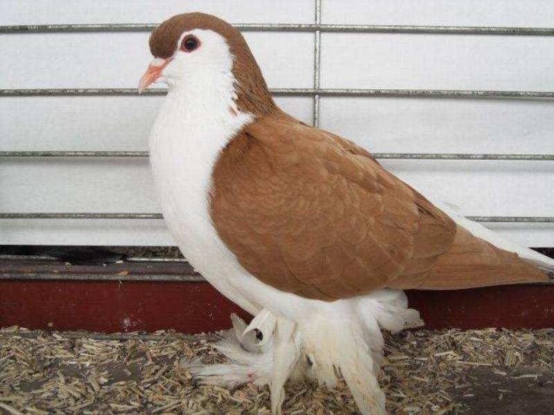 brown lahore pigeon