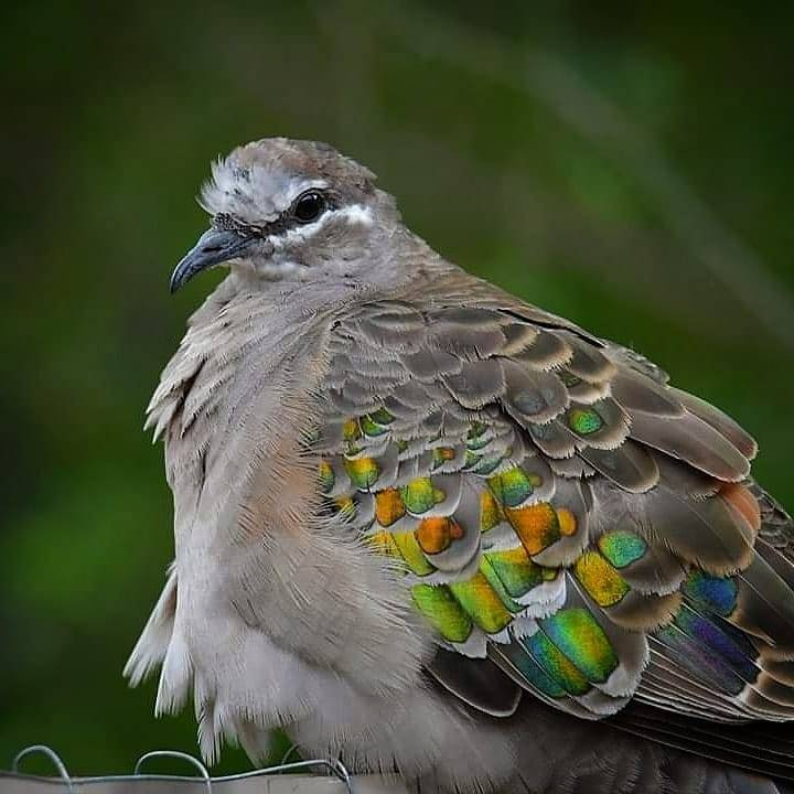 female common bronzewing pigeon