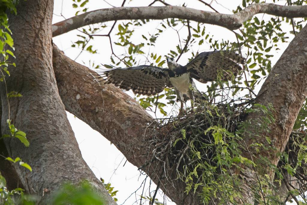 Harpy Eagle, Harpia harpyja, female at nest with six week old chick