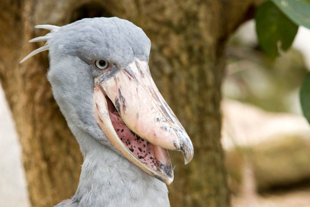 Shoebill Jurong Bird Park Singapore.