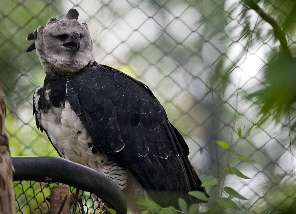 A female Harpy eagle